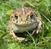 Natterjack Toad Epidalea calamita 21.5.17 (4) (wildlifelover69) Tags: natterjacktoad epidaleacalamita amphibians