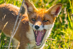 Fox in the Long Grass (SLHPhotography1990) Tags: red fox native british animal nature mammal vulpes summer long grass green colours beauty beautiful wonder awe trust wild wildlife isleofwight