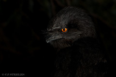 The darker the night... the brighter the stars! (chrissteeles) Tags: tawnyfrogmouth frogmouth nocturnal moody dark bird birding tanunda southaustralia sa