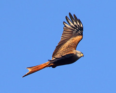 Red Kite (Treflyn) Tags: red kite play back garden earley berkshire afternoon