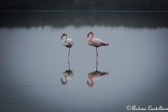 Fenicotteri (Castello foto) Tags: flamingos fenicotteri rosa saline cervia nebbia laguna acqua acquatici
