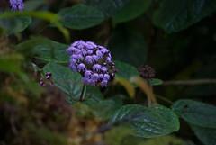 Purple forest bloom (Sven Rudolf Jan) Tags: tari papua new guinea purple flower