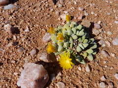 Cheiridopsis sp. 3
