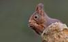 pas la peine de te cacher (guiguid45) Tags: nature sauvage animaux mammifères forêt loiret d810 nikon 500mmf4 écureuil eurasianredsquirrel écureuilroux squirrel affût