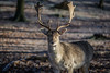 Truth is a hard deer to hunt. (A.Dissing) Tags: truth is hard deer hunt singular plural contrast vejle denmark animal close up reindeer christmas tree hunting wild cold forrest