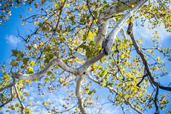 sycamore (severalsnakes) Tags: kansas pentax promaster5017 saraspaedy shawnee shawneemissionpark k1 manual manualfocus sycamore tree