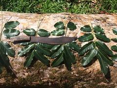 Khaya nyasica leaves (J. B. Friday) Tags: khaya khayanyasica khayaanthotheca meliaceae