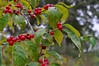 Ripe and red (Jake (Studio 9265)) Tags: parklands floyds fork louisville ky tree nature green september 2016 outdoors photography outdoor wild fall usa united states america kentucky nikon d5000 red berries plant water drop stick spots dew morning