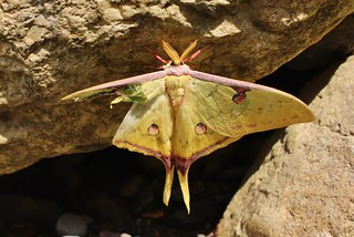 South China moon moth (Actias sinensis) male