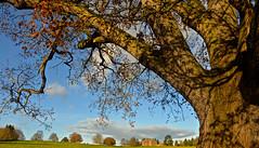 OLD TREE (chris .p) Tags: nikon d610 view november 2017 capture nt uk england nationaltrust autumn infinitexposure