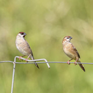 pair of plum-headed finches