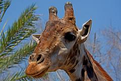 Giraffa camelopardalis - the Giraffe (BugsAlive) Tags: animal nature giraffe giraffacamelopardalis wildlife