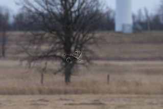 Day of the Short-eared Owl