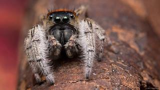 Phidippus whitmani jumping spider