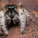 Phidippus+whitmani+jumping+spider