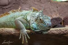 2017-06-01-Osnabruck-0789.jpg (BZD1) Tags: greeniguana iguanaiguana natuur zooosnabruck groeneleguaan nature animal osnabrück niedersachsen duitsland de