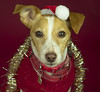 Christmas in the studio (Tom's Grandad) Tags: babies jack russell dog bw montague