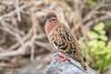 Galapagos Dove 500_3189.jpg (Mobile Lynn) Tags: birds wild dove galapagosdove nature bird columbiformes fauna wildlife zenaidagalapagoensis puntasuarezespanolaisland galapagosislands ecuador ec coth specanimal ngc coth5