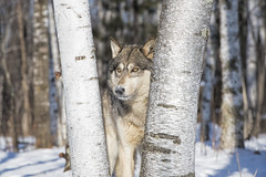 DSC_3101 (peterstratmoen) Tags: timberwolf wolf wildlife minnesota