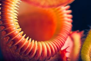 Nepenthes villosa