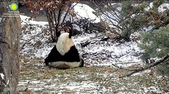 2017_12-30a (gkoo19681) Tags: beibei chubbycubby fuzzywuzzy adorableears backside perfection treattime sugarcane soyummy justlikemama beingadorable toocute cooldude comfy ccncby nationalzoo