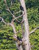 IMG_7550 (jaglazier) Tags: 121717 2017 animals birds buzzards copyright2017jamesaglazier december deciduoustrees ecuador napowildlifepreserve naturepreserves orellana rainforests trees forests parks vultures orellanaprovince