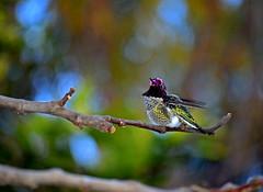 Big bad hummer (mariposa lily) Tags: hummingbird hummingbirds hummer hummers bird birds twilight evening nikon nikond3300 d3300