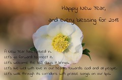 Best Wishes for 2018! (RiverCrouchWalker) Tags: newyear greeting christmasrose happynewyear 2018 january newyearsday flower rhs hydehall bestwishesfor2018 bestwishes flickrfriday