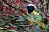 Cyanocorax yncas (Wilmer Quiceno) Tags: cyanocoraxyncas laceja carriqui urraca urracas greenjay corvidae birding birdwatching birdwatcher birds aves pajaros pajariar bird airelibre pájaro animal ave canon pajaro silvestre alados naturaleza nature vidasalvaje wildlife fotografiadeaves