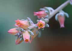 Flower (LuckyMeyer) Tags: flower fleur plant green rosa makro botanical garden pflanze blume blüte