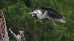 Great Blue Heron Landing...Kind of Artistic (Vidterry) Tags: heron greatblueheron cedarlake
