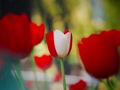 Combination of happy colors (Kito K (fxkito2)) Tags: japan olympus omd fineart macro lumix flower tulip color bokeh closeup blooming nature park dof