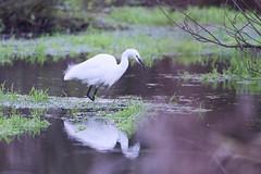 Little Egret (Egretta garzetta) (jhureley1977) Tags: littleegret egrettagarzetta birds birding birdsofbritain britishbirds ashjhureley avibase naturesvoice bbcspringwatch rspbbirders rspb ashutoshjhureley