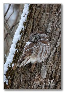1E1A0184-DL-2   Nyctale de Tengmalm / Boreal Owl.