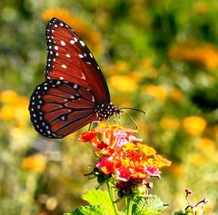 Queen Butterfly on Lantana Flowers (ksblack99) Tags: queen butterfly lantana flower desertbotanicalgarden phoenix arizona