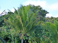 Wailua River State Park - Fern Grotto (77) (pensivelaw1) Tags: hawaii kauai wailuariverstatepark ferngrotto