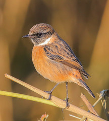 Stonechat (m) (badger2028) Tags: stonechat male