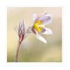 Lady of snows. (BirgittaSjostedt) Tags: pulsatillavernalis springpasqueflower arcticviolet ladyofthesnows flower dropdroplet macro closeup nature arctic plant blossom photoborder birgittasjostedt