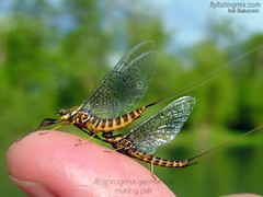 Rhithrogena germanica (crnabambula) Tags: rhithrogena germanica marchbrown flyfishingmix ivanrandjelovic entomology flyfishing fly fishing montenegro bosnia serbia guide