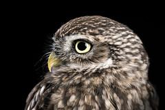 Little owl (Explored) (hehaden) Tags: bird owl littleowl athenenoctua captive studio captivelight bournemouth