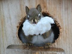 I think I Saw Santa Claus This morning! (DaPuglet) Tags: squirrel squirrels redsquirrel animal animals nature wildlife santaclaus funny christmas costume santa beard house winter coth5 ngc npc sunrays5 fantasticnature ppc
