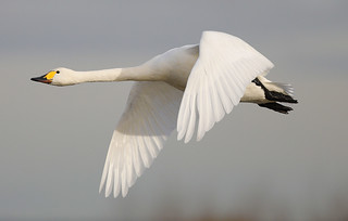 BEWICK SWAN ....Slimbridge.