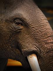 Elephant (andycurrey2) Tags: wildlife elephant africa nature mammal portrait eye face photoshop museum canon digital london