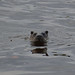 Otter on the Endrick (2)