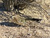 Camouflaged Road Runner-10 (Chic Bee) Tags: camouflage shadow roadrunner bird sabinocanyon nature naturewalk catalinamountains tucson arizona southwesternusa americansouthwest america interesting