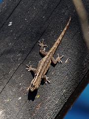 Robust (LeftCoastKenny) Tags: madagascar day11 zombitsevohibasianationalpark tree gecko