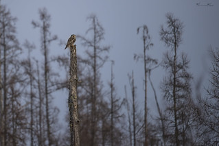 The Hawk Owl