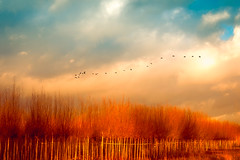 Blow, blow, thou winter wind (Ans van de Sluis) Tags: ansvandesluis december linge clouds nature river sky sunny tree treenursery trees winter wind blow surreal fineart goose geese