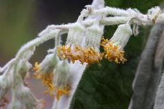 Bedfordia arborescens 2896 (Mike Bayly) Tags: taxonomy:binomial=bedfordiaarborescens geo:country=australia bedfordia bedfordiaarborescens asteraceae blanketleaf arfp nswrfp vrfp warmtemperatearf cooltemperatearf arfflowers whitearfflowers
