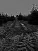 Blick in die Tannenbaumplantage (thomaswolf333) Tags: landwirtschaft tannen fichten nordmanntannen weihnachtsbaum christmastree osnabrückerland spuren feldweg schwarzweis bw blackandwhite monochrom